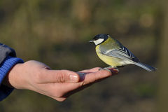 Great tit bird standing on human hand. And feeding Royalty Free Stock Photos