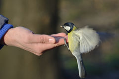 Great tit bird standing on human hand. And feeding Stock Image