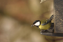 Great Tit Bird on Sunflower Seed Feeder. A Great Tit bird on a feeder with a sunflower seed in its mouth Stock Photography