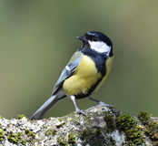 Great tit bird Stock Photos