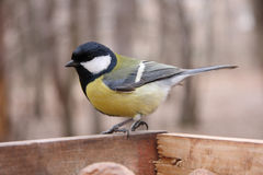 Great tit in birdfeeder. In the park Royalty Free Stock Photo