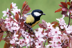 Great tit on a blossoming twig Royalty Free Stock Photo