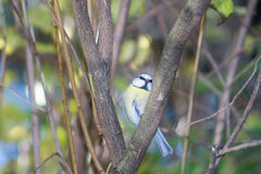 Great tit, blue tit eats fat ball at the manger in the branches of trees Royalty Free Stock Images
