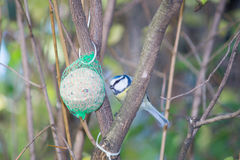 Great tit, blue tit eats fat ball at the manger in the branches of trees Royalty Free Stock Photo