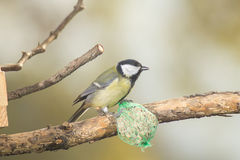 Great tit, blue tit eats fat ball at the manger in the branches of trees Stock Photo