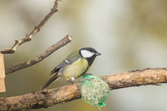 Great tit, blue tit eats fat ball at the manger in the branches of trees Stock Image