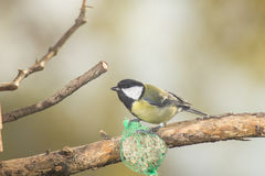 Great tit, blue tit eats fat ball at the manger in the branches of trees Royalty Free Stock Photos