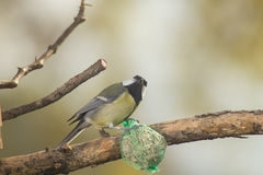 Great tit, blue tit eats fat ball at the manger in the branches of trees Royalty Free Stock Photography