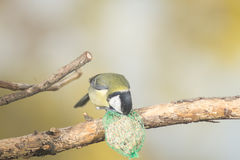 Great tit, blue tit eats fat ball at the manger in the branches of trees Royalty Free Stock Image