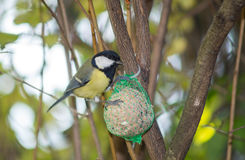 Great tit, blue tit eats fat ball at the manger in the branches of trees Stock Photos
