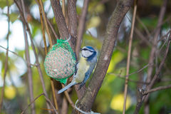 Great tit, blue tit eats fat ball at the manger in the branches of trees stock images