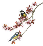 Great Tit and Blue Tit perched on a blossoming branch, isolated Stock Photo