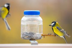 Great tit is on a blurred background. royalty free stock image