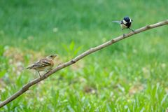 Great Tit and Brambling. A Great Tit and a Brambling stand on branch royalty free stock photo
