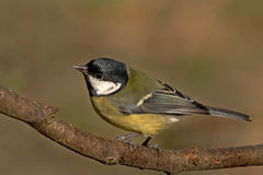 Great Tit on a branch. A great Tit, which frequents parks and gardens throughout Europe Stock Photos