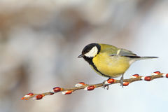Great Tit on branch. Royalty Free Stock Photography