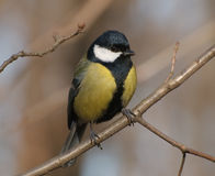 Great tit on the branch stock photography