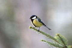 Great tit on branch Stock Photography