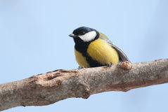 Great Tit. On a big branch, blue background Stock Photography