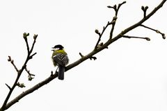 Great tit on a branch of birch royalty free stock photos