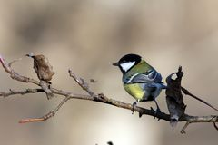 Great tit on branch in the garden Royalty Free Stock Photo