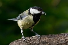 Great Tit on branch Royalty Free Stock Photography