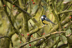 Great Tit on branch Royalty Free Stock Photo