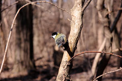 Great tit. On a branch of a tree in the park Stock Image