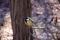 Great tit. On a branch of a tree in the park Royalty Free Stock Photos