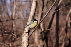 Great tit. On a branch of a tree in the park Royalty Free Stock Photo