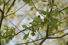 Great tit on a branch which faces. France Stock Image