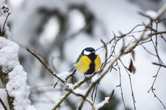 Great tit on a branch Stock Photo