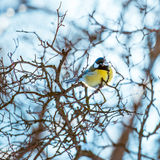 Great tit on a branch Stock Photos