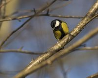 Great tit songbird perched on a branch. Great tit british songbird perched on a branch in Scotland Stock Photos