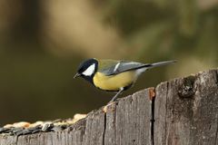 Great tit came at seeds on stump Stock Image
