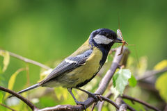 Great Tit carrying mosquito. Great Tit (Parus major) carrying mosquito in beak Stock Photos