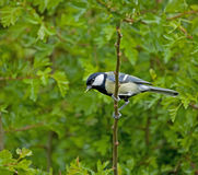 Great Tit and caterpillar Stock Photography