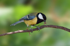 Great Tit with caterpillar Stock Photo