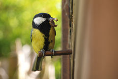 Great tit with caterpillar. This great tit has got a caterpillar in its bill and is about to feed it to the chicks in the nesting box in my wildlife garden Royalty Free Stock Image