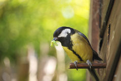 Great tit with caterpillar. This great tit has got a caterpillar in its bill and is about to feed it to the chicks in the nesting box in my wildlife garden Royalty Free Stock Photography