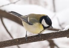 Great Tit - a close-up image Stock Images