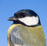 Great tit close-up / Parus major Royalty Free Stock Photo