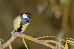 Great tit closeup Stock Images