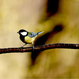Great tit closeup Royalty Free Stock Photos
