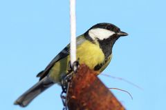 Great tit on coconut feeder Royalty Free Stock Photography