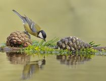 Great Tit between cones. Great Tit between cones reflected in the water Stock Photography