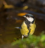 Great Tit in dark background Royalty Free Stock Image