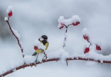 Great Tit on a Dog Rose branch. After a heavy snowfall, a Great Tit (parus major) manages to perch on the branch of a Dog Plant with red fruits royalty free stock image