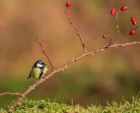 Great Tit on dog rose twig Stock Photography