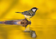 Great tit drinking water in the pond. royalty free stock photography